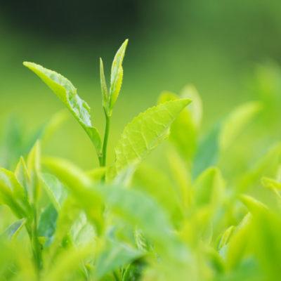 CHRISITINA(クリスティーナ)に配合される成分:緑茶エキス