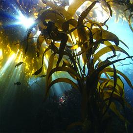 ラミナリア海藻エキス